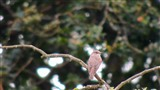 Spotted flycatcher,late leaving?