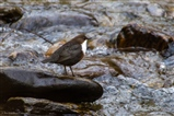 Dippers along the river