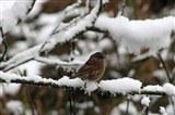 A wintery dunnock