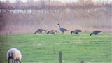 Bean Geese at Loch of Strathbeg today