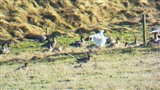 Snow goose today at Rattray