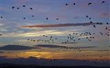 Barnacle Geese at dawn