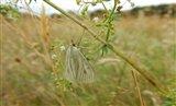 The moth Sitochroa palealis