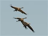Crane flypast
