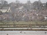 Flight of Black Tailed Godwits - Jan 2015