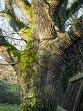 Ancient Oak outside Little Hanger Hide