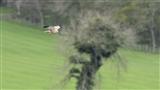 Male Marsh Harrier I
