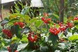 Viburnum opulus 'Compactum' berries