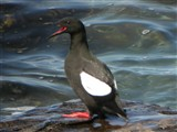 Black Guillemot portrait