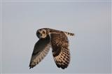 Short-eared Owl - 25/05/2013, AJL