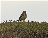 Meadow pipit at Mull of Galloway