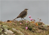 Rock Pipit seen at Mull of Galloway
