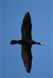 Overhead cormorant