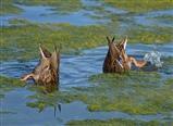 bobbing ducks
