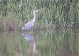 Grey Heron @ Radipole