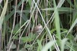 Reed Warbler 1