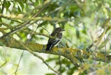 Pied Flycatcher, Female