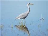 Grey Heron on Lodmoor