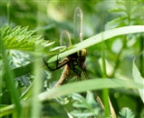 OF Hairy Dragonfly