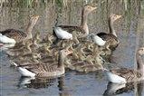 Greylag Goose Creche