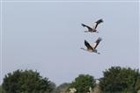 Cranes over Ouse Fen