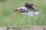Redshank taking flight