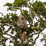 Red Kite at Tollie just taking in the view.