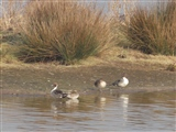 Pintails enjoying February sun