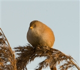 Bearded tit 7
