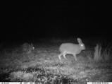 Irish hares at night