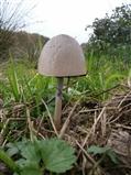 Dung fungi