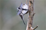 A pair of Long tailed tits and blue tit
