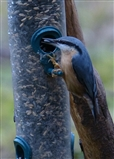 Nuthatch on Feeder