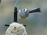 Long Tailed Tit on Fat Feeder