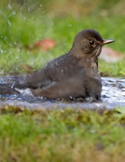 Blackbird enjoying a splash in garden bird bath.