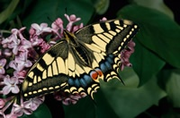 Swallowtail butterfly. Image by John Markham (www.rspb-images.com)