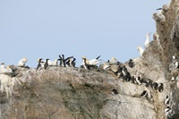 Seabird colony - photo by Andy Hay (www.rspb-images.com)