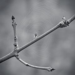 Ash buds and spider. Image by Spodzone (http://www.flickr.com/photos/spodzone/)