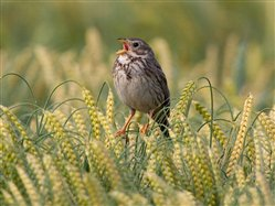 Photo of corn bunting male singing in a wheat crop (RSPB images)