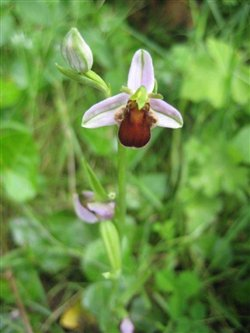 Brown Bee Orchid 1