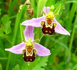Bee Orchid: Typical Form