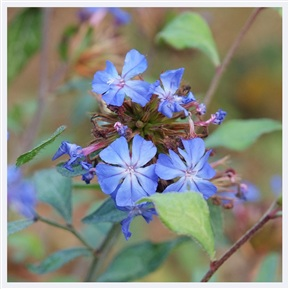 Ceratostigma willmottanium flowers and leaves