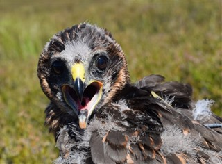 Image of a hen harrier - Marci