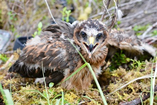 Image of a hen harrier - Skylar