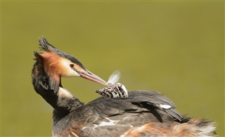 Great crested grebe feeding young (Ben Andrew)