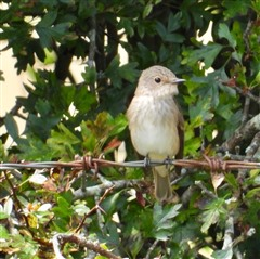 Spotted flycatcher perched on barbed wire fence