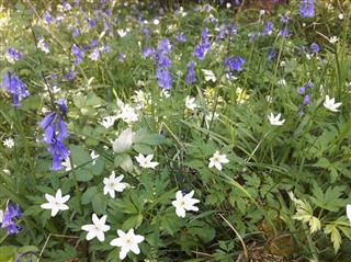 Bluebells and wood anemones - image of a carpet of green leaves on the woodland floor, with a mixture of blue, bell-shaped flowers and white star-shaped flowers.