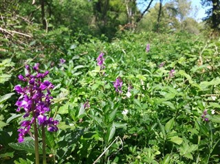 Early purple orchids - image shows a sunny day on the woodland floor, with a carpet of green leaves. In the foreground are stems with bright pinky-purple flowers on them.