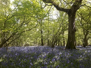 Garston Wood nature reserve - image shows lots of trees, covered in fresh light green leaves. The sun us shining down through the branches onto a carpet of bluebells below, with the light dappling them in between the shade of the branches.