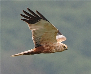 Marsh harrier by Mike Malpass